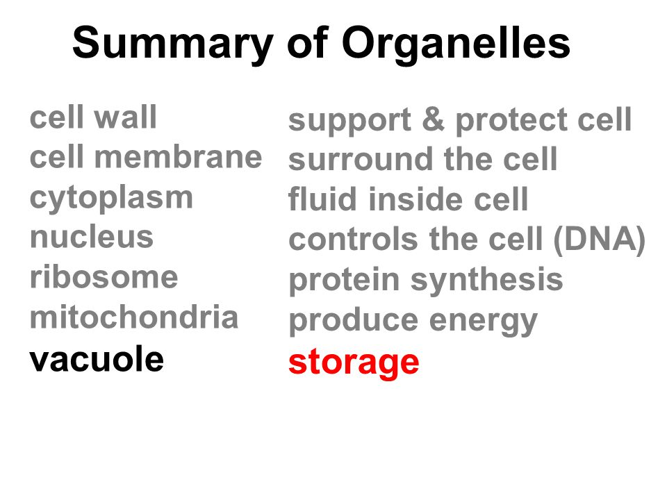 Summary of Organelles vacuole storage cell wall support & protect cell