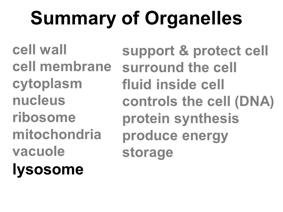 Summary of Organelles lysosome cell wall support & protect cell