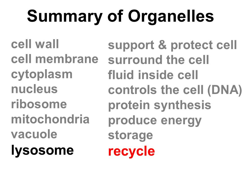 Summary of Organelles lysosome recycle cell wall