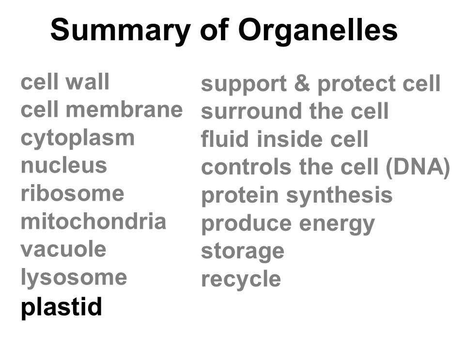 Summary of Organelles plastid cell wall support & protect cell