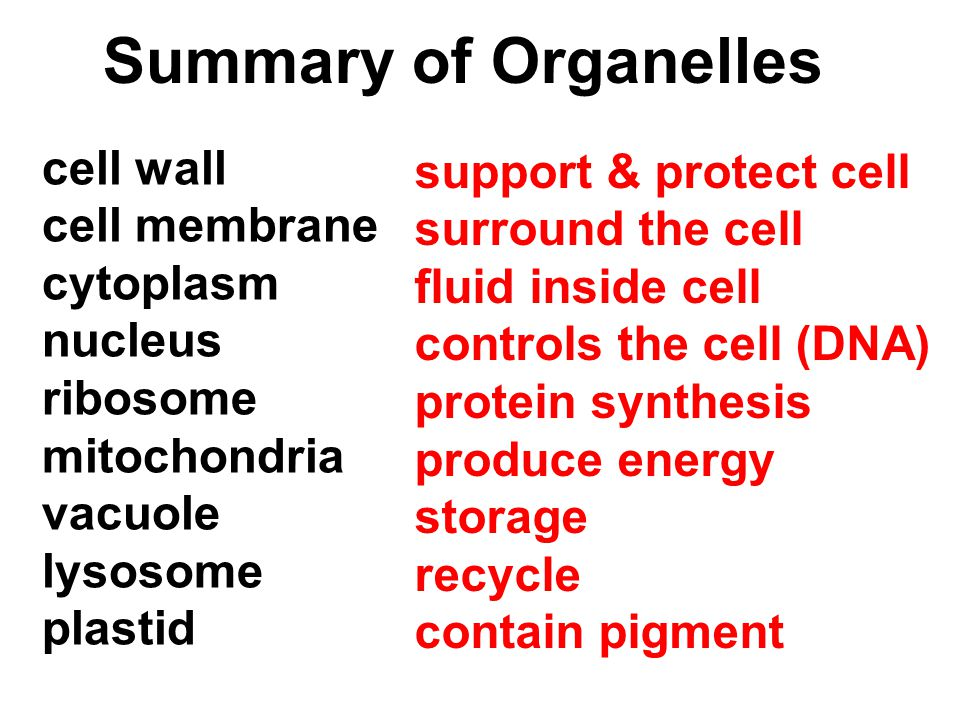 Summary of Organelles cell wall support & protect cell cell membrane