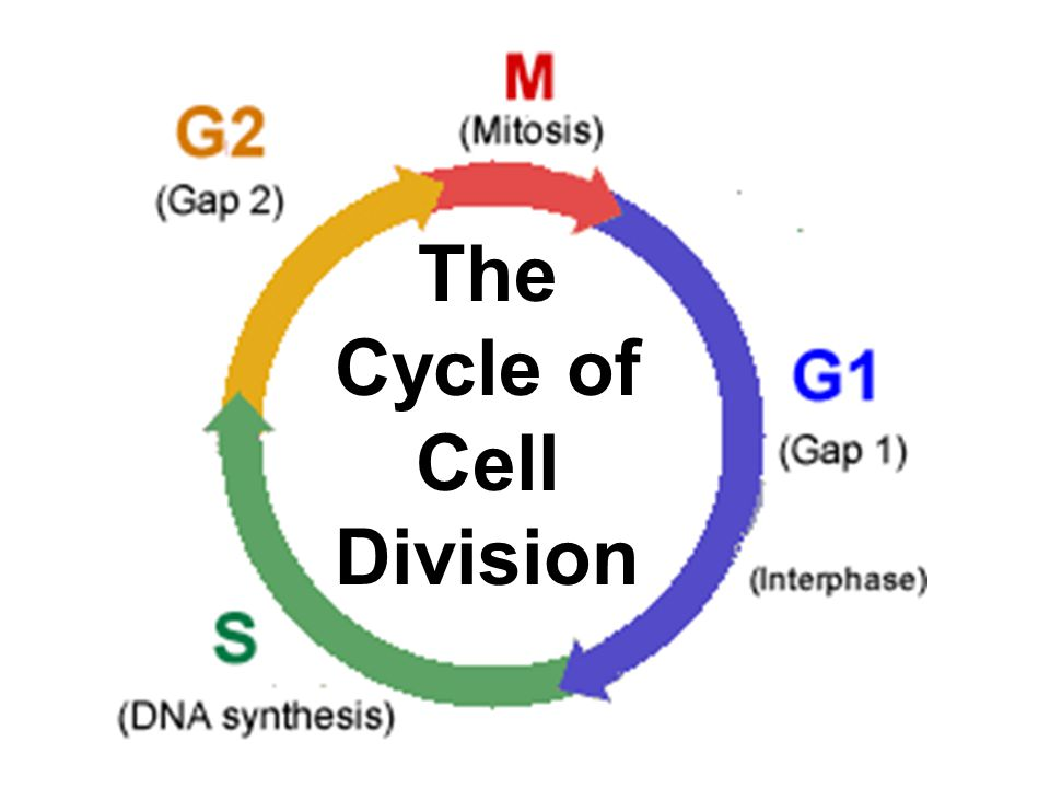 The Cycle of Cell Division