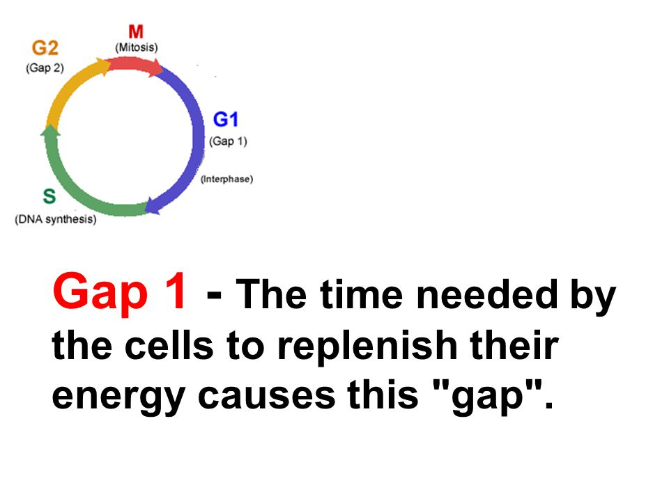 Gap 1 - The time needed by the cells to replenish their