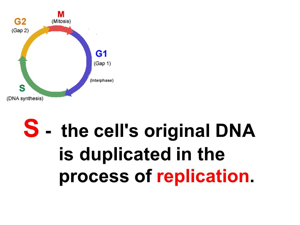 S - the cell s original DNA