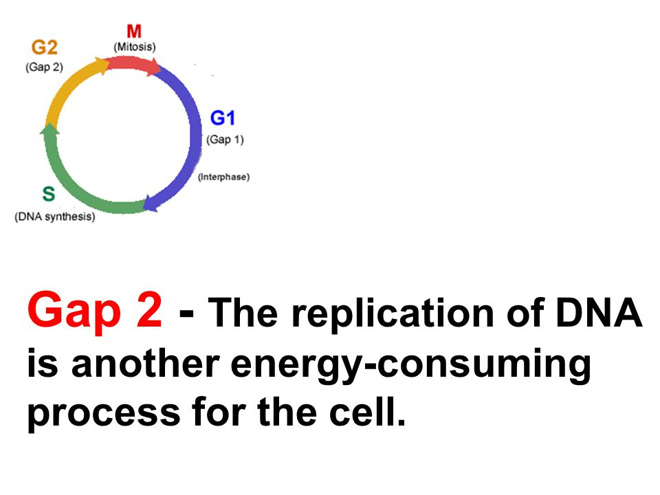 Gap 2 - The replication of DNA