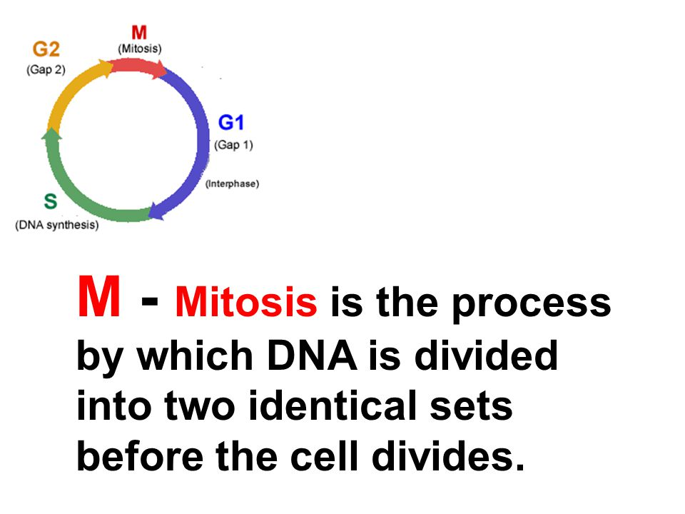 M - Mitosis is the process