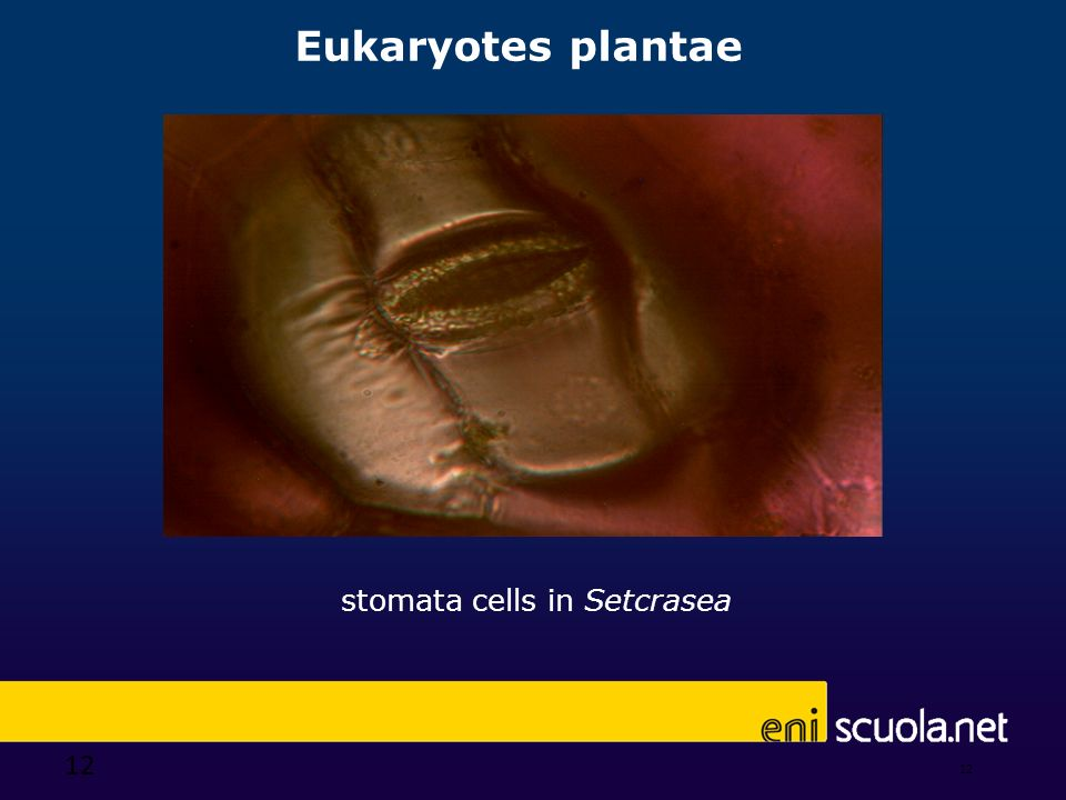 stomata cells in Setcrasea