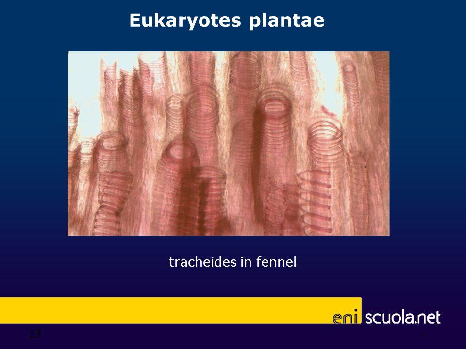 Eukaryotes plantae tracheides in fennel 13