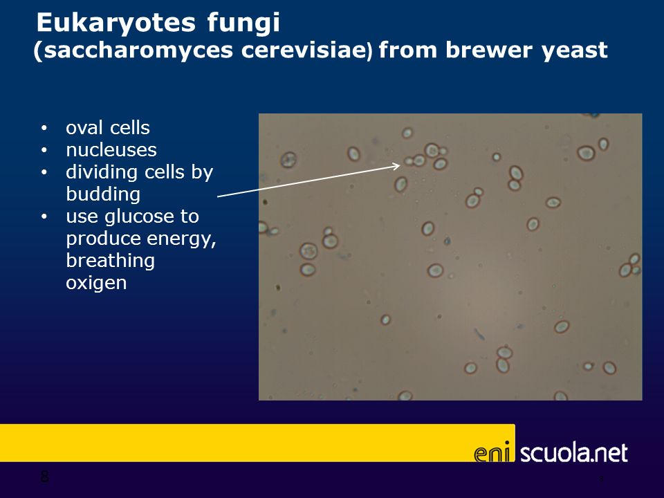 Eukaryotes fungi (saccharomyces cerevisiae) from brewer yeast