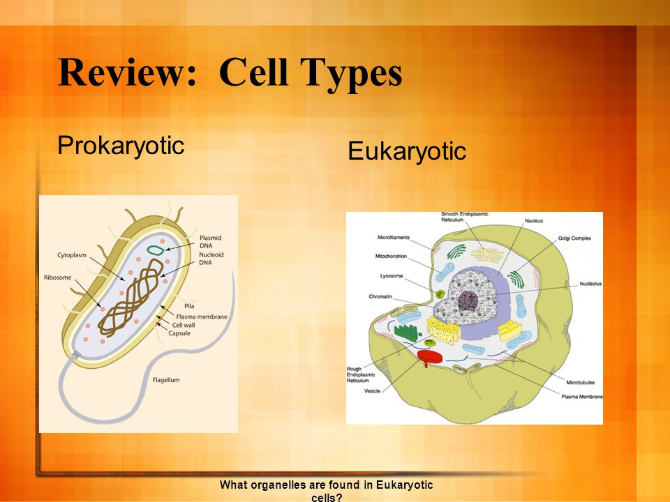 What organelles are found in Eukaryotic cells