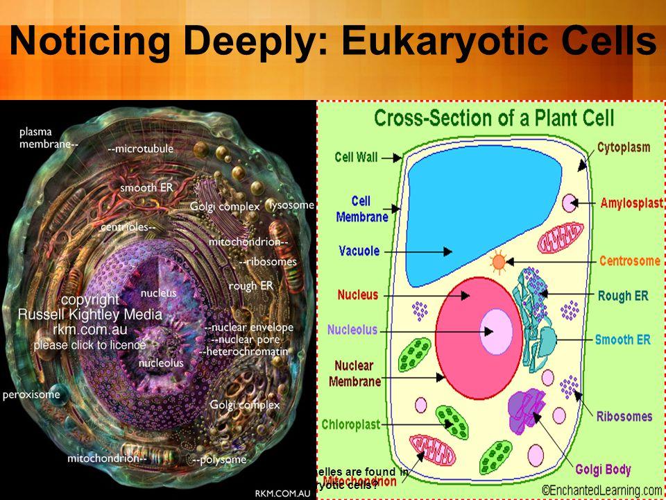 Noticing Deeply: Eukaryotic Cells