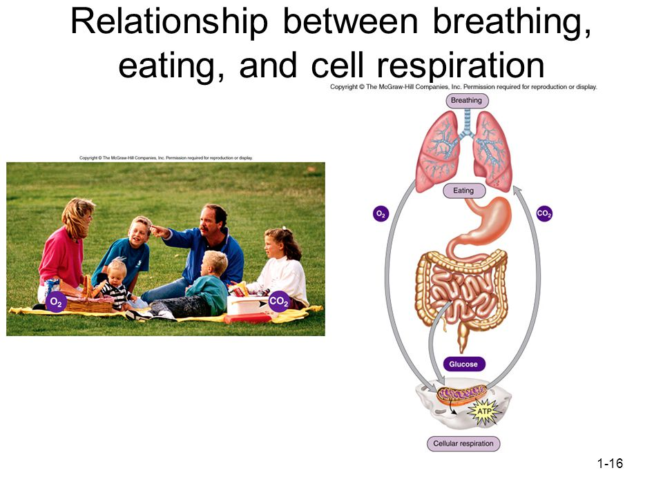 Relationship between breathing, eating, and cell respiration