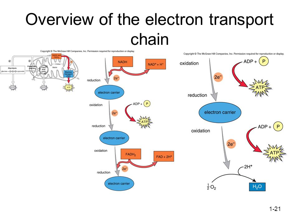 Overview of the electron transport chain