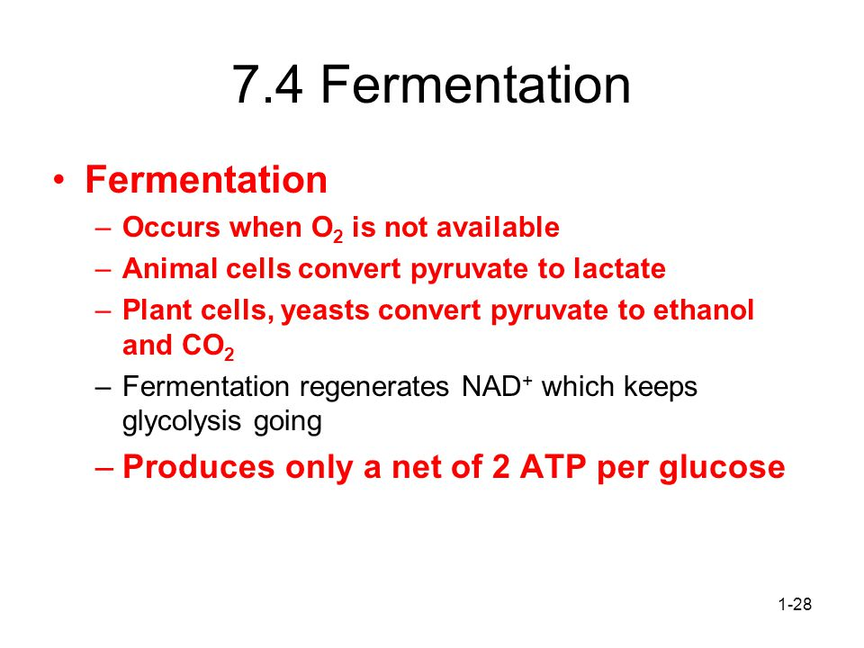 7.4 Fermentation Fermentation Produces only a net of 2 ATP per glucose