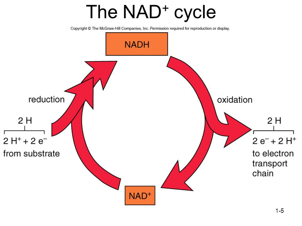 The NAD+ cycle