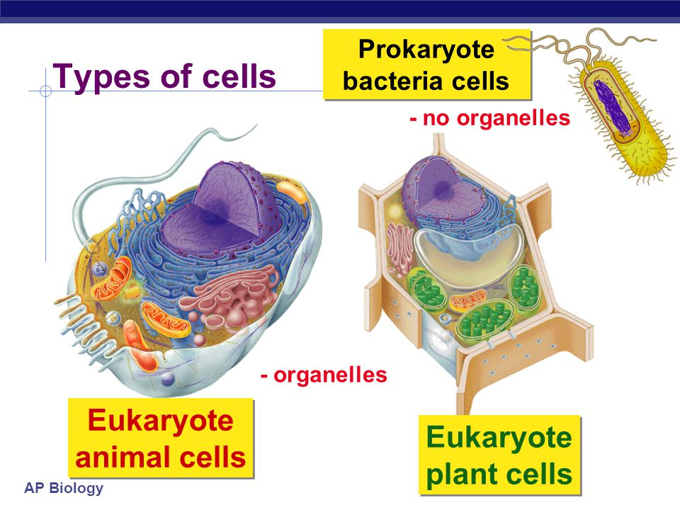 Prokaryote bacteria cells Eukaryote animal cells