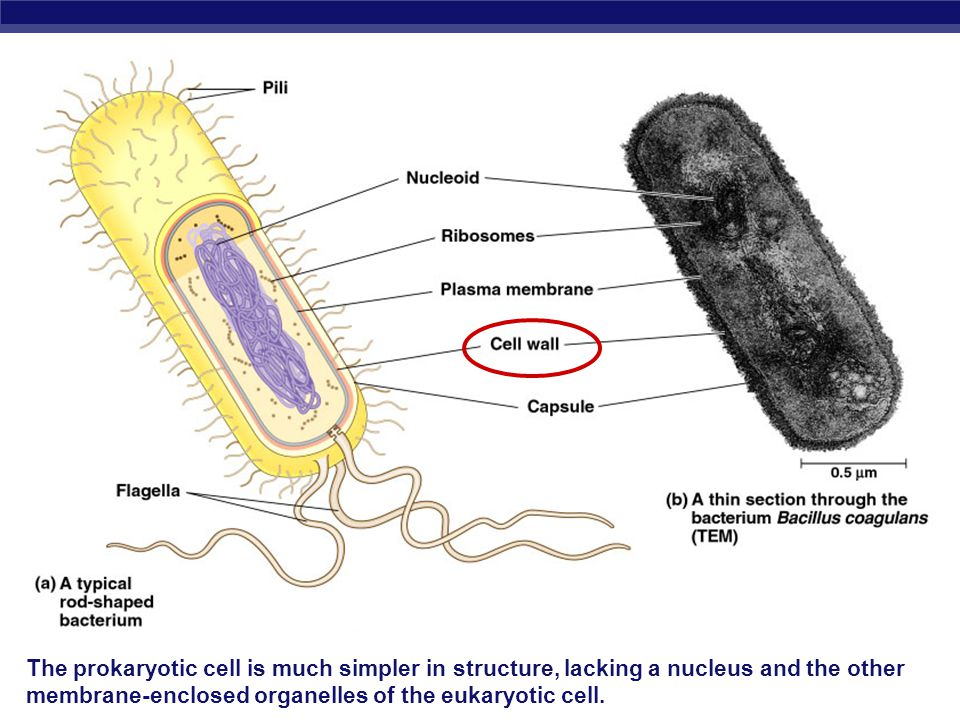 The prokaryotic cell is much simpler in structure, lacking a nucleus and the other membrane-enclosed organelles of the eukaryotic cell.