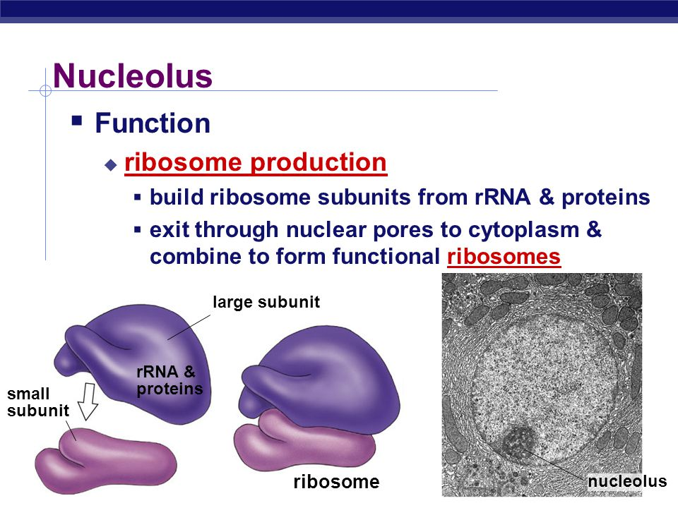 Nucleolus Function ribosome production