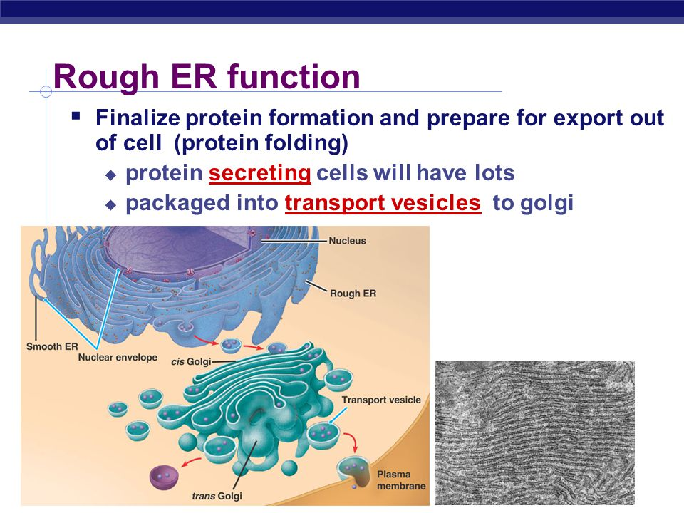 Rough ER function Finalize protein formation and prepare for export out of cell (protein folding) protein secreting cells will have lots.