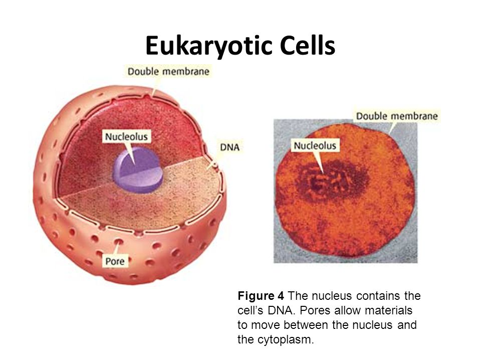 Eukaryotic Cells Figure 4 The nucleus contains the cell's DNA.