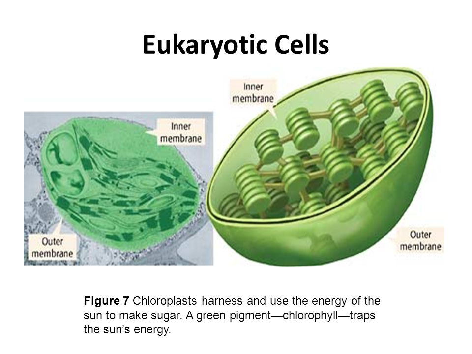 Eukaryotic Cells Figure 7 Chloroplasts harness and use the energy of the sun to make sugar.