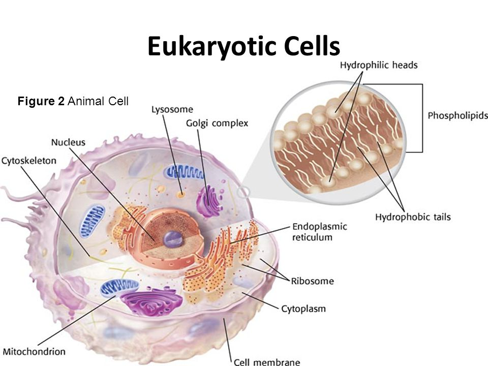 Eukaryotic Cells Figure 2 Animal Cell