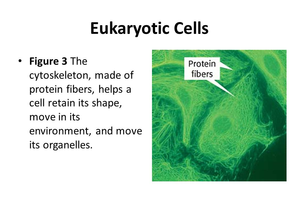 Eukaryotic Cells Figure 3 The cytoskeleton, made of protein fibers, helps a cell retain its shape, move in its environment, and move its organelles.