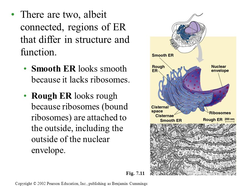 There are two, albeit connected, regions of ER that differ in structure and function.