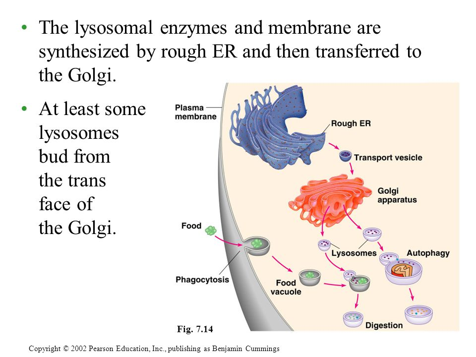 At least some lysosomes bud from the trans face of the Golgi.