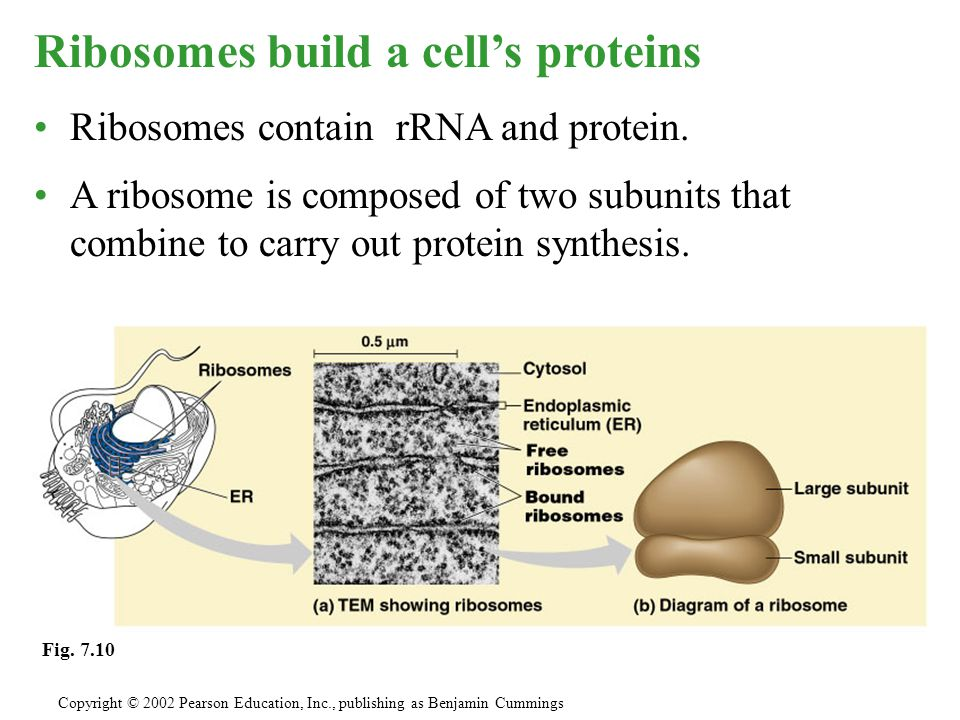 Ribosomes build a cell's proteins