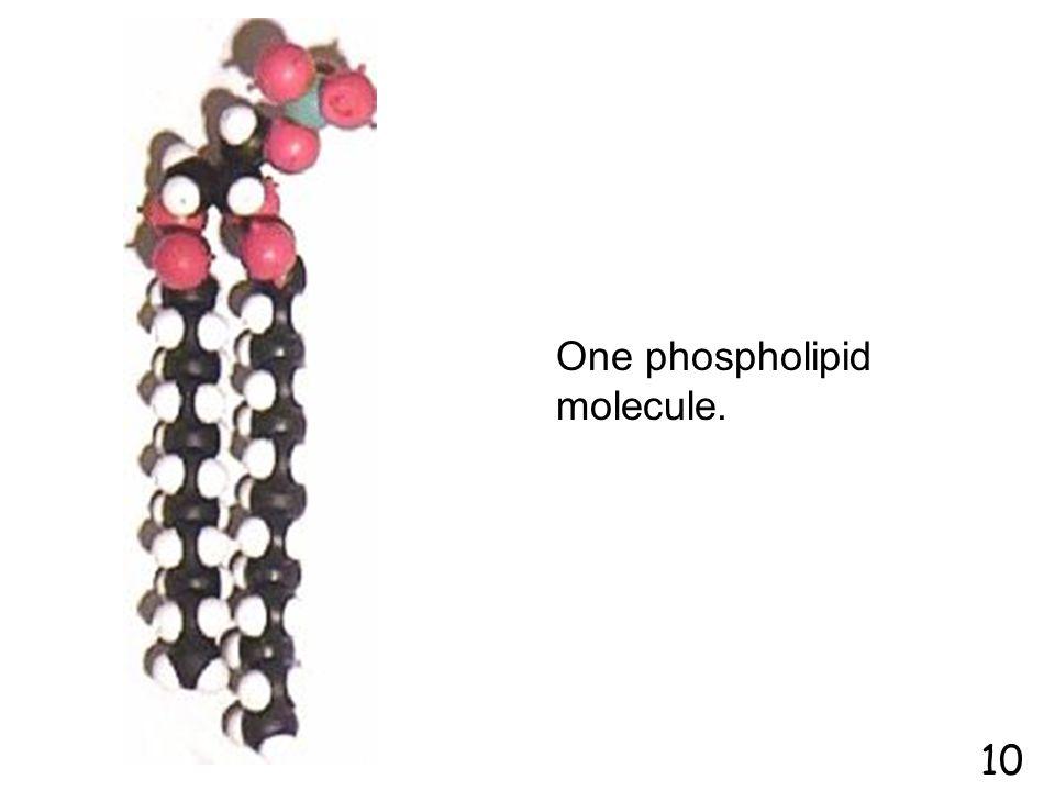 One phospholipid molecule.