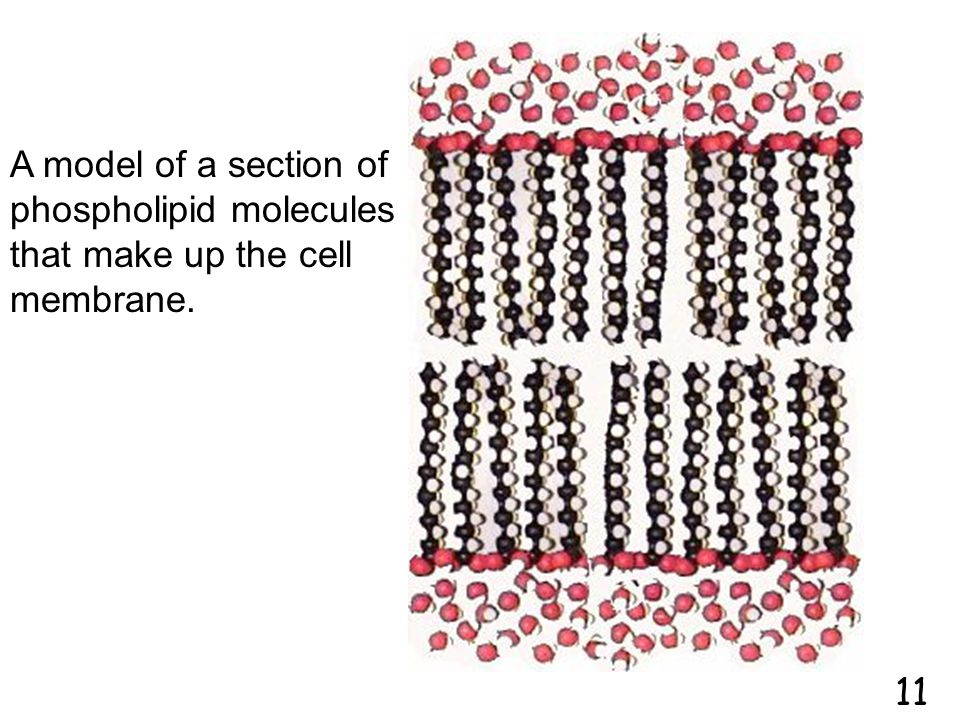 A model of a section of phospholipid molecules that make up the cell membrane.