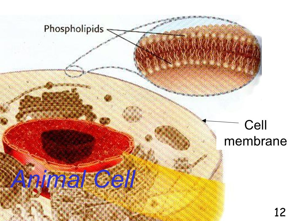 Cell membrane Animal Cell 12