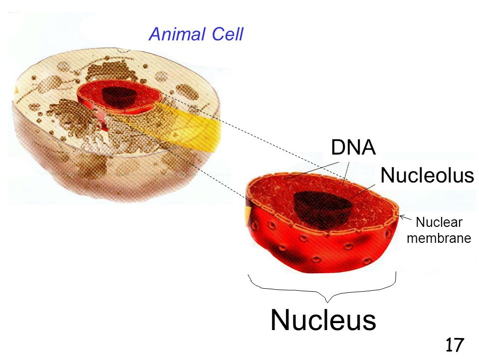 Animal Cell Nucleus DNA Nucleolus Nuclear membrane 17