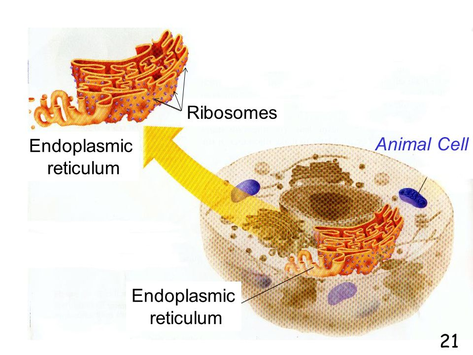 Endoplasmic reticulum Ribosomes Animal Cell 21