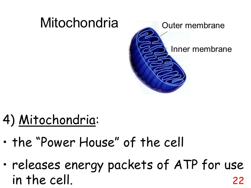 Mitochondria 4) Mitochondria: the Power House of the cell