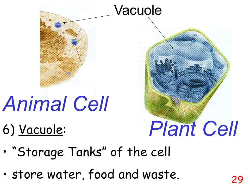 Animal Cell Plant Cell Vacuole 6) Vacuole: Storage Tanks of the cell