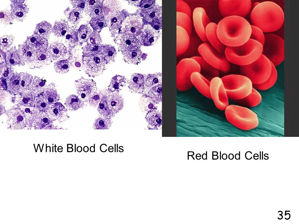White Blood Cells Red Blood Cells 35