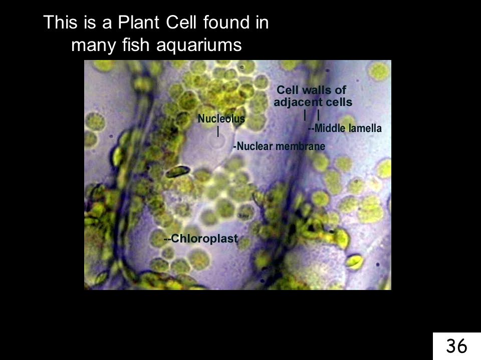 This is a Plant Cell found in many fish aquariums