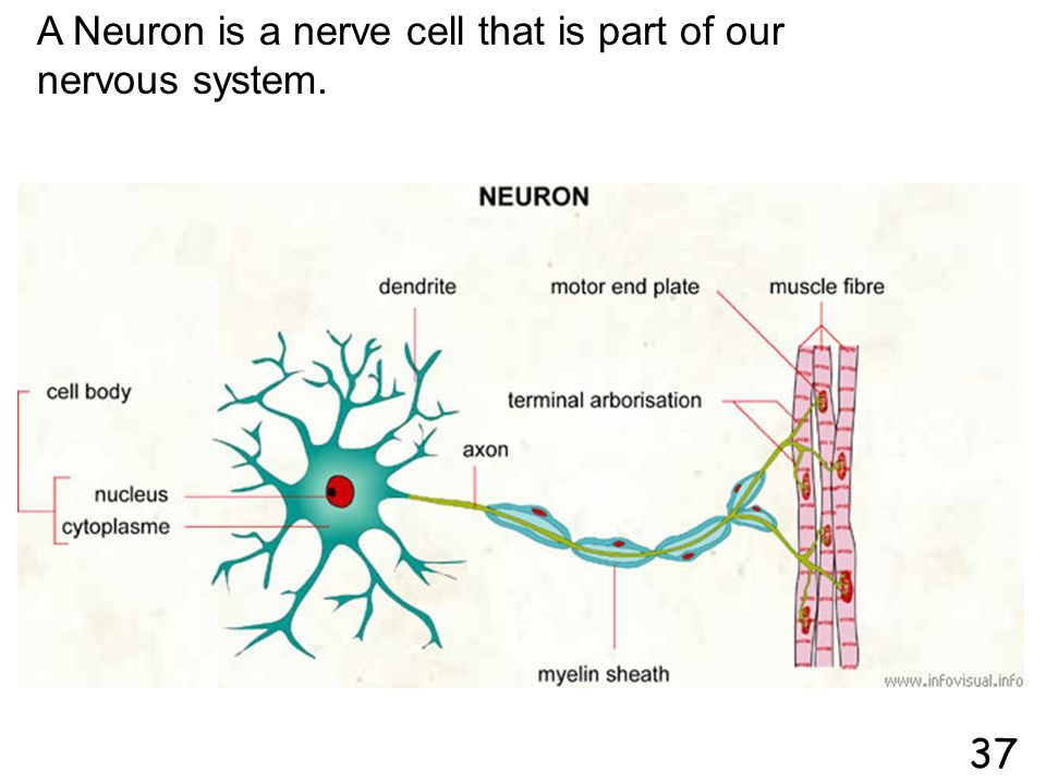 A Neuron is a nerve cell that is part of our nervous system.
