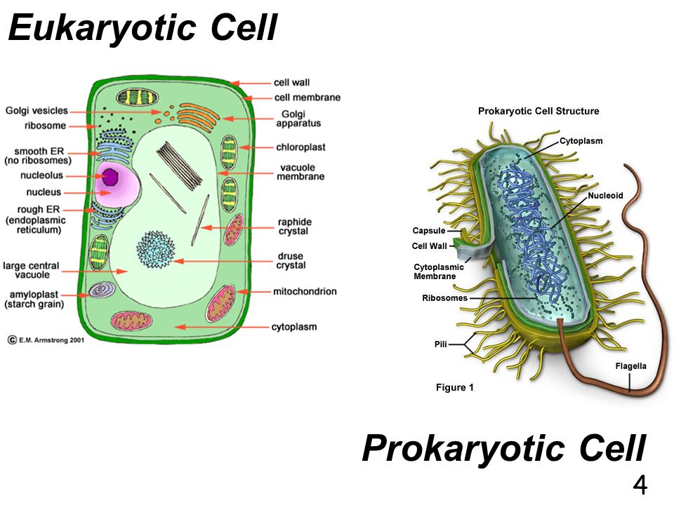 Eukaryotic Cell Prokaryotic Cell 4