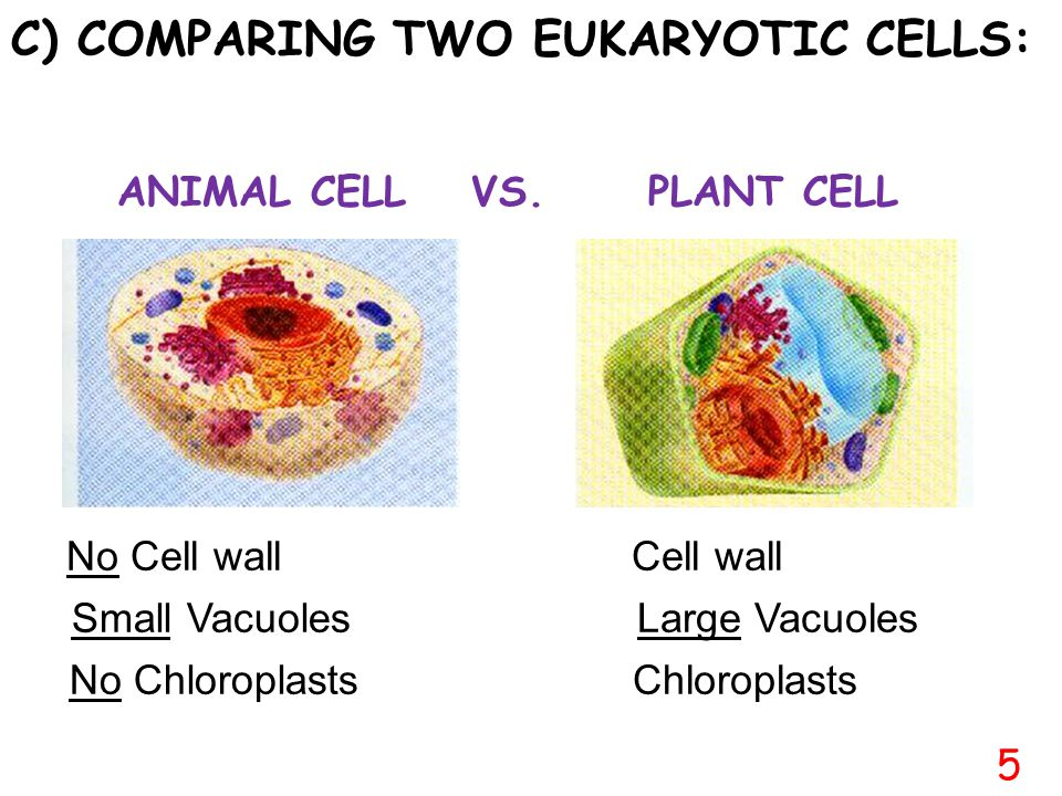 C) COMPARING TWO EUKARYOTIC CELLS: