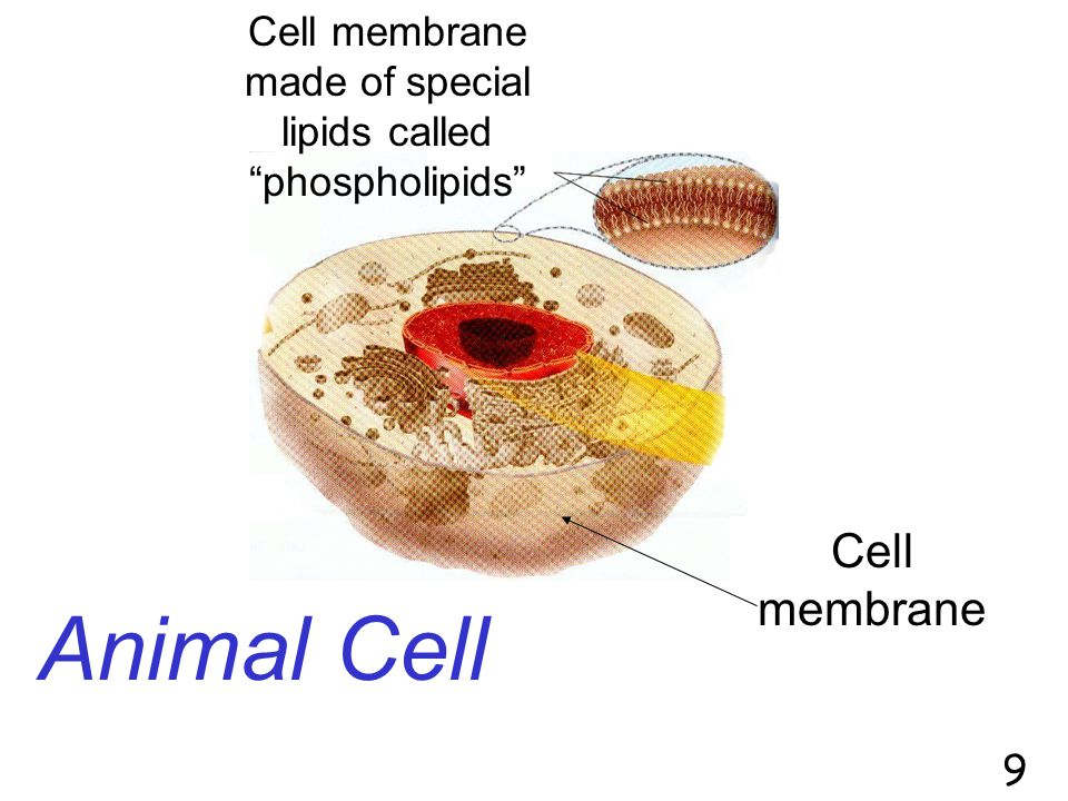 Cell membrane made of special lipids called phospholipids