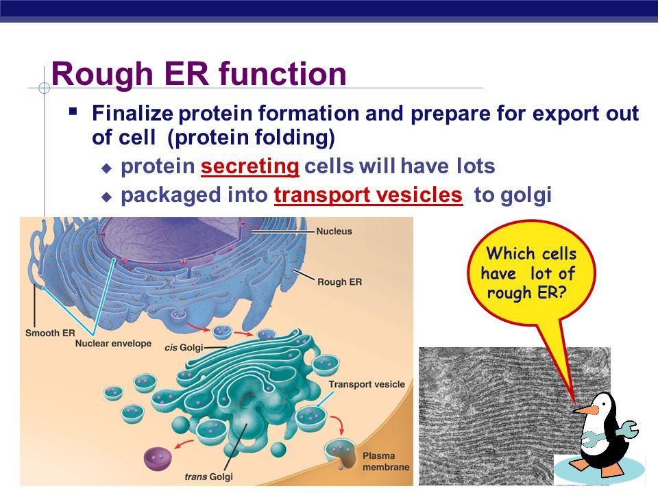Which cells have lot of rough ER