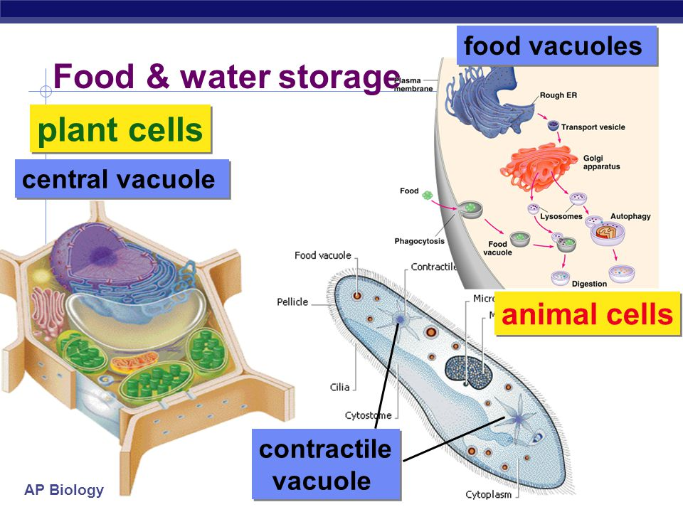 Food & water storage plant cells animal cells food vacuoles