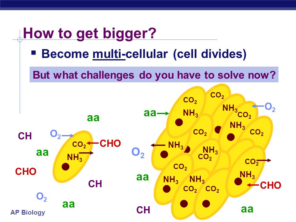 How to get bigger Become multi-cellular (cell divides) aa aa aa O2 aa