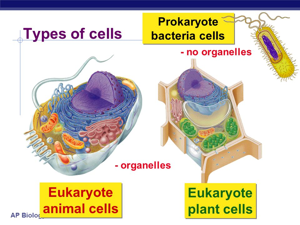 Prokaryote bacteria cells Eukaryote animal cells