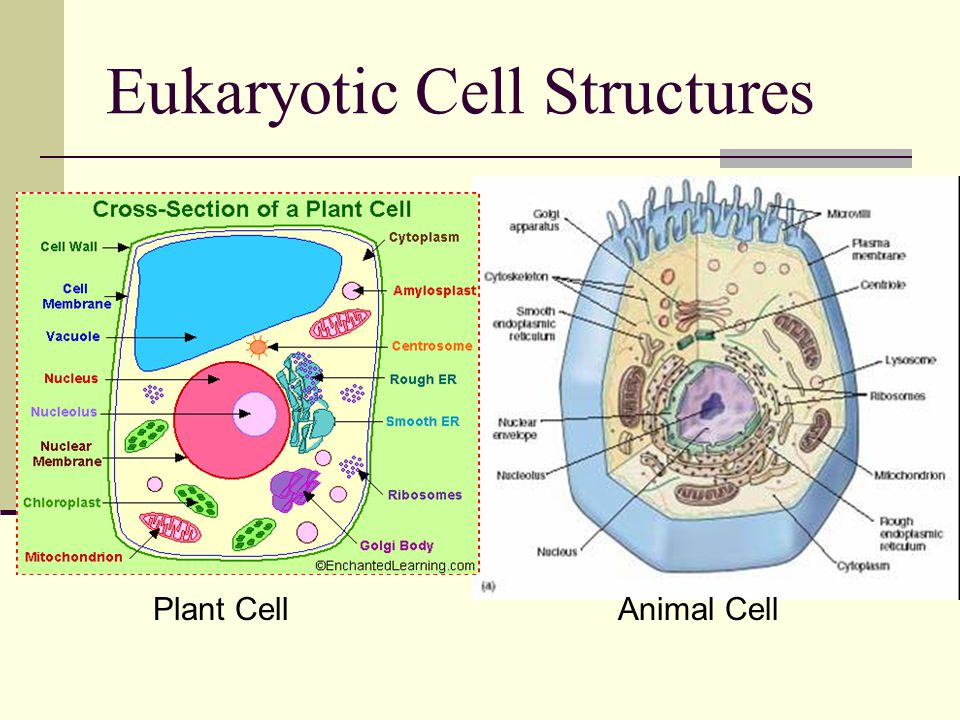 Eukaryotic Cell Structures