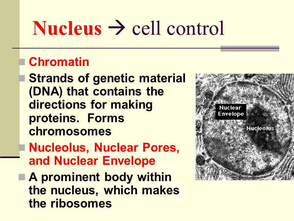 Nucleus  cell control Chromatin