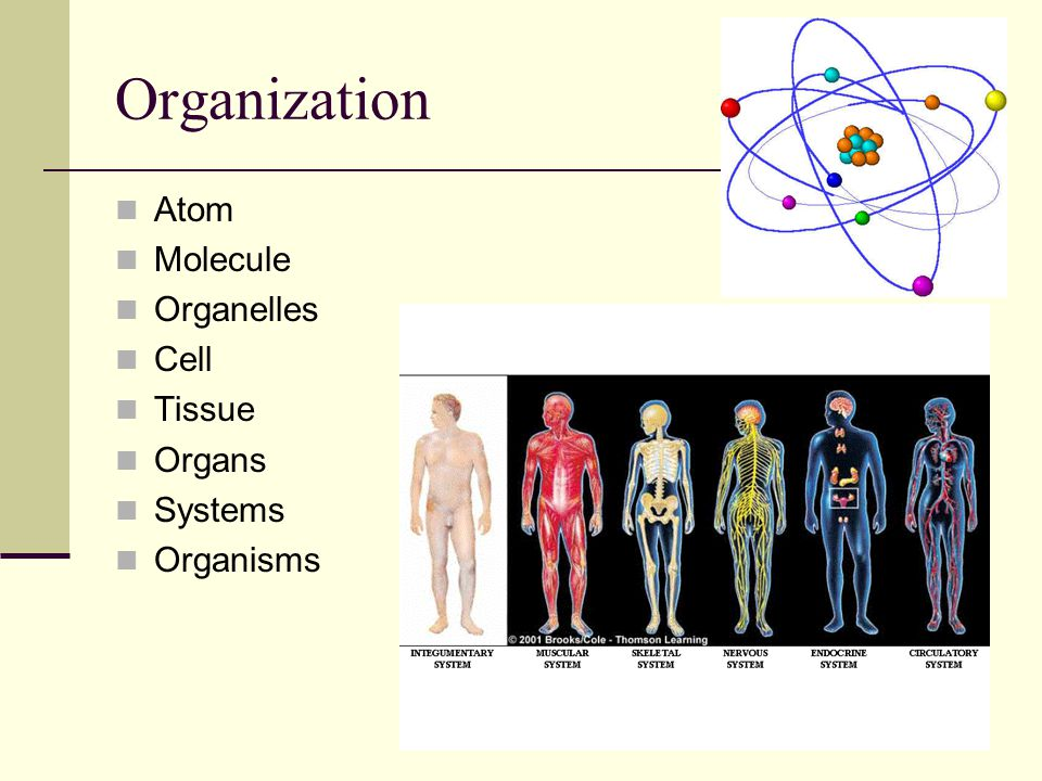 Organization Atom Molecule Organelles Cell Tissue Organs Systems
